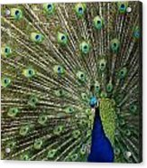 Peacock Acrylic Print