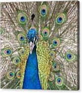 Peacock Full Plumage Acrylic Print