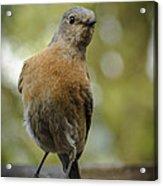 Peering Bluebird Acrylic Print