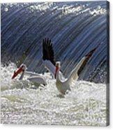 Pelican Drama Acrylic Print