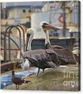 Pelican Duo Acrylic Print