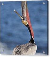 Pelican Head Throw Acrylic Print