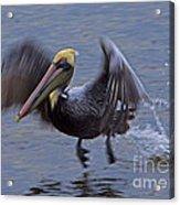 Pelican Takeoff Acrylic Print