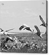 Pelicans Acrylic Print by Thomas Leon