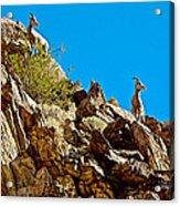Peninsular Bighorn Sheep From Borrego Palm Canyon Trail In Anza-borrego Desert Sp-ca Acrylic Print