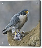 Peregrine Eating Pigeon Acrylic Print