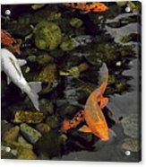 Swimming Koi Acrylic Print