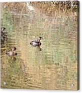 Pied-billed Grebes Acrylic Print