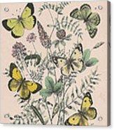 Pieridae Acrylic Print