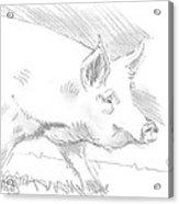 Pig Drawing Acrylic Print