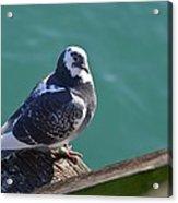 Pigeon Acrylic Print