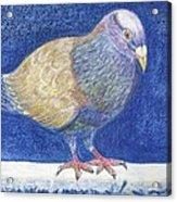 Pigeon On Snowy Wall Acrylic Print