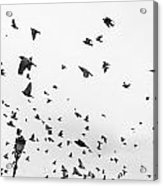 Pigeons In Flight Acrylic Print
