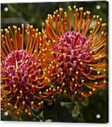 Pincushion Flowers Acrylic Print
