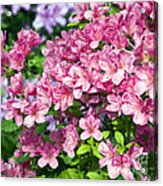 Pink And Blue Rhododendron Acrylic Print