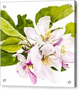 Pink Apple Blossoms Acrylic Print