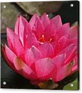 Pink Bloom... Acrylic Print