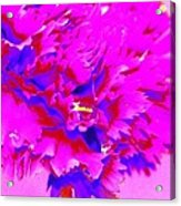 Pink Carnation Acrylic Print