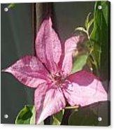 Pink  Clematis   # Acrylic Print