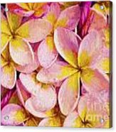 Pink frangipani Acrylic Print