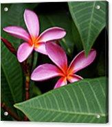 Pink Plumeria Flowers Acrylic Print