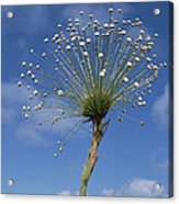 Pipewort Grassland Plants Blooming Acrylic Print