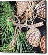 Pitch Pine Cone Acrylic Print