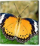 Plain Tiger Butterfly Acrylic Print