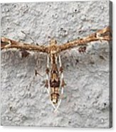 Plume Moth Acrylic Print