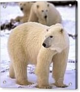 Polar Bear Family Acrylic Print