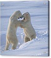 Polar Bear Males Sparring Churchill Acrylic Print