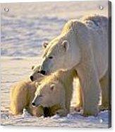 Polar Bear Mother And Cubs Acrylic Print