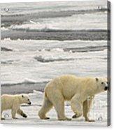 Polar Bear With Cub Acrylic Print