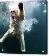 Polarbear In Water Acrylic Print