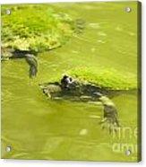 Pond Turtles Acrylic Print