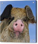 Portrait Of A Boar Acrylic Print