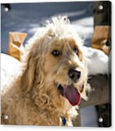 Portrait Of A Goldendoodle Sitting Acrylic Print