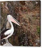 Portrait Of An Australian Pelican Acrylic Print