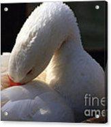 Preening Goose Acrylic Print