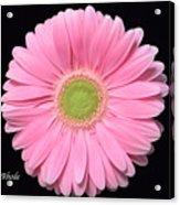 Pretty Pink Gerbera Daisy Acrylic Print