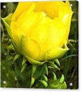 Prickly Pear Cactus Bloom  Acrylic Print