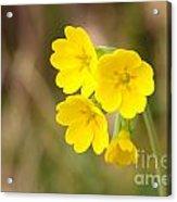 Primula Cowslip Fairy Cups Acrylic Print