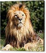 Proud Majestic Lion Acrylic Print