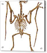 Pterodactylus, Extinct Flying Reptile Acrylic Print