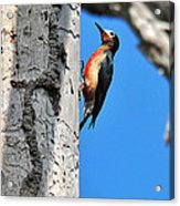 Puerto Rican Woodpecker Endemic Acrylic Print