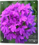 Purely Purple Acrylic Print