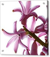 Purple Hyacinth Macro Shot. Acrylic Print
