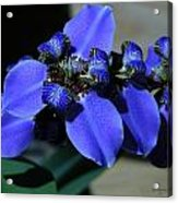 Purple Iris 2 Acrylic Print