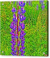 Purple Lupine On Campobello Island-nb Acrylic Print