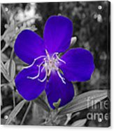 Purple Passion Acrylic Print by Joe McCormack Jr